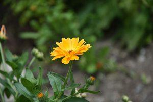 5 plantas que sirven como repelentes de insectos para tu hogar